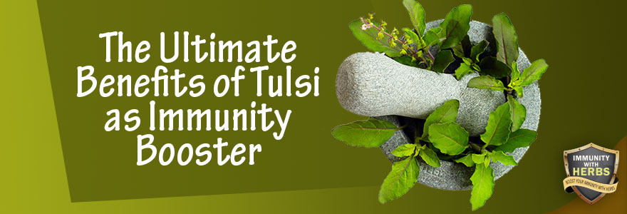 tulsi as immunity booster